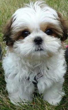 Best Shih Tzu Anime Adorable Dog - d2c5ca4de777260b3bc097becb46d183  HD_336733  .jpg