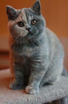 pretty blue/cream kitty 5mths old
