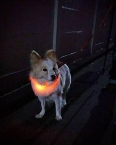 エレクトリカルふーちゃん。   #dog #inu #犬 #犬の麩