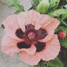 Whooohoowww....Net gespot bij de groothandel ik schat zo een diameter 12 cm.  #picoftheday #nice #ilove #poppies #poppy #klaproos #papaver #beautiful #flower #potenpapaver