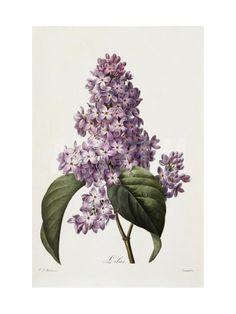 Lilacs Giclee Print by Pierre-Joseph Redouté at Art.com