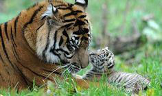 Happy Tiger Thursday!
