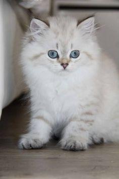 Ivana - Femelle - British longhair seal golden tabby point - #cat #chat #animal…