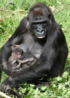 Aawww--GOrillas