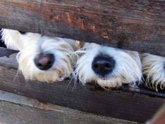 Westie noses