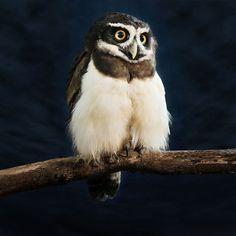 """Der Brillenkauz (""""Pulsatrix perspicillata"""") aus Süd- und Zentralamerika wird in Brasilien auch """"Klopfeule"""" genannt, weil sein Gesang wie das Klopfen eines Spechts klingt."""