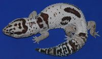 Fat Tail Geckos For Sale - Awesome Fat Tail Geckos Amphibians, Reptiles, Fat Tailed Gecko, Geckos, Lizards, Dinosaur Stuffed Animal, African, Pets, Awesome
