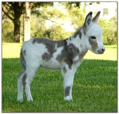 Mini baby donkey (I know this isn't a horse but it's in the equine family and it's adorable!!!)