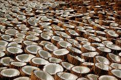 A Sea of Coconuts, Kerala, India