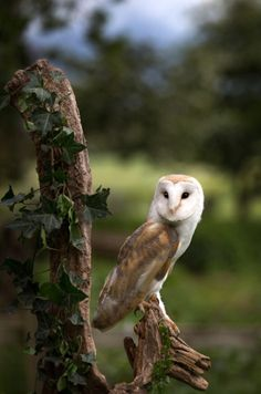 Barn Owl in the woods.