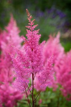 and her journey continues..., outdoormagic: Astilbe by thenikonkid on Flickr.
