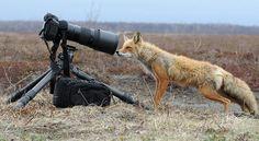 curios fox