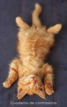 Excellent What It Means to Be a Tabby Cat Ideas Tabby Cats Fluffy Kitten sleeping on her back - TouCanvas - Kitten sleeps on the back like a log on sofa Fluffy Kittens, Cats And Kittens, Kittens Cutest, Cute Cats, Sleeping On Back, Ginger Kitten, Sleeping Kitten, Orange Tabby Cats, All About Cats