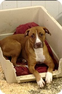 MIDDLE ISLAND, NY - Pit Bull Terrier Mix. Meet Stella, a dog for adoption. http://www.adoptapet.com/pet/14489134-middle-island-new-york-pit-bull-terrier-mix