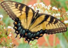 Alabama State Butterfly: Eastern Tiger Swallowtail