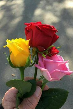 Rose Seeds Double Delight Hybrid Tea Rose bonsai Flower Beautiful Perennial Rose petals for home garden plant, 16 kinds Beautiful Flowers Pictures, Beautiful Flowers Wallpapers, Beautiful Rose Flowers, Pretty Roses, Flower Pictures, Exotic Flowers, Amazing Flowers, Pretty Flowers, Bonsai For Beginners