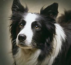 Absolutely will have a border collie.  (A Beautiful Border Collie for Berni ❤  - yorkshire_rose photo)