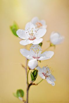 Spring Blossom by Jacky Parker - Photo 58429124 - Most Beautiful Flowers, Rare Flowers, Flowers Nature, Exotic Flowers, Spring Flowers, Spring Blossom, Blossom Flower, Cherry Blossom Pictures, Cherry Blossoms
