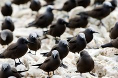 The Lesser Noddy lives year round in the Abrolhos. The Australian subspecies of the Lesser Noddy is listed as a threatened species because it breeds on only three islands in the Abrolhos, with all nests in less than five hectares of mangroves. This makes the Lesser Noddy particularly vulnerable to disturbance. Pictured on Wooded Island, Easter Group, Houtman Abrolhos, Western Australia.