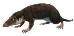Eozostrodon Facts: Morganucodon, a close relative of Eozostrodon (Wikimedia Commons)
