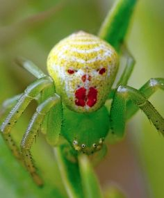 CLOWN SPIDER - Found in the rainforests of the Hawaiian islands. Certain morphs have a pattern uncannily resembling a smiley face or grinning clown face. Each spider has a unique pattern. Patterns differ from island to island & may change according to what food the spider has eaten!