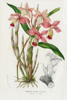 VINTAGE BOTANICAL - Barkeria Elegans