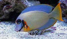 A tang salt water fish
