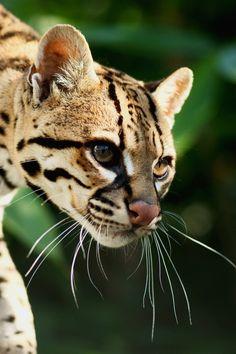 Ocelot 2 by cjchmiel on DeviantArt Big Animals, Jungle Animals, Nature Animals, Caracal, Margay Cat, Ocelot, Wild Creatures, Cute Creatures, Cute Cats And Kittens