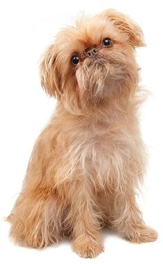 Brussels Griffon...that face! Looks just like my Teddy and Woody! Sweetest breed I have ever owned!
