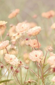 Find images and videos about pink, nature and flowers on We Heart It - the app to get lost in what you love. My Flower, Wild Flowers, Beautiful Flowers, Peach Flowers, Flowers Nature, Spring Flowers, Romantic Flowers, Pastel Flowers, Pastel Colours