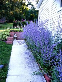 Russian Sage along west side of house - likes full sun and heat. deer and drought resistant. 3-4 feet high and wide blooms late summer to first frost. My favorite Russian Sage varieties are Rocketman and Denim N' Lace:
