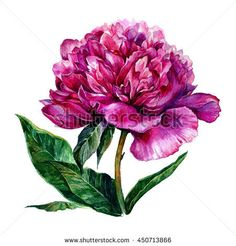 Watercolor bright pink peony isolated on white background. Hand drawn illustration in vintage style.