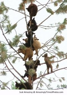 Tree full of baby bears – Why are they all up in the tree for? It sure looks cute just to see them all up there.
