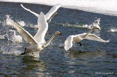 みちのく白鳥達5 : みちのくの大自然 Morioka Iwate Japan
