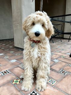 Fantastic Photo dogs and puppies labradoodle Thoughts Conduct you like your dog? Suitable dog treatment and also teaching will ensure your pu Goldendoodle Grooming, Australian Labradoodle Puppies, Austrailian Labradoodle, Miniature Labradoodle, Cute Dogs And Puppies, I Love Dogs, Doggies, Baby Animals, Cute Animals