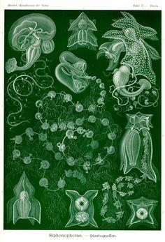 Siphonophorae by Ernst Haeckel; Kunstformen der Natur, 1900
