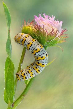 Cucullia Verbasc Caterpillar by Zbigniew Hudobski Ocean Creatures, All Gods Creatures, Beautiful Bugs, Beautiful Butterflies, Beautiful Creatures, Animals Beautiful, Caterpillar Insect, Caterpillar Book, Animal Photography