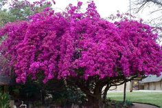 Bougainvillea Tree | ... Plains Game Lodge: the blooming bougainvillea tree planted in 1963