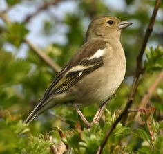 british female chaffinch - Google Search