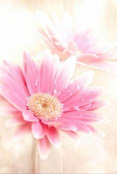 Gerbera Daisy Photograph - Raining Petals by Sharon Mau My Flower, Pretty In Pink, Flower Power, Pink Flowers, Beautiful Flowers, Pink Gerbera, Gerbera Daisies, Dahlia Flower, Fresh Flowers