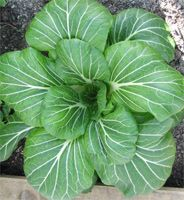 growing pak choi, so easy and delicious.