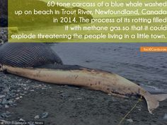 60 tone carcass of a blue whale washed up on beach in Trout River, Newfoundland, Canada in 2014. The process of its rotting filled it with methane gas so that it could explode threatening the people living in a little town. - http://factecards.com/60-tone-carcass-blue-whale/