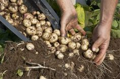 4 Simple Steps to Grow a Hundred Pounds of Potatoes in a Barrel..........