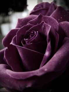 Purple roses  - not towards your 'someday' plans. Just because it's beautiful ;->