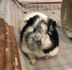 Happy Animals, Zoo Animals, Animals And Pets, Pig Pics, Pet Guinea Pigs, Baby Animals Pictures, Human Babies, Animal Room, Cute Animal Drawings