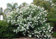 /\ /\ . Nerium Oleander 'Sister Agnes' White Oleander, Hot House, Interior Decorating Tips, Nerium, Mediterranean Garden, Beach Shack, Magpie, Beach House, Outdoor Living