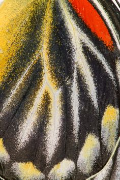 Delias Butterfly wing close-up photograph by:  Darrell Gulin