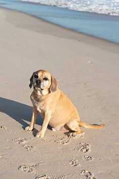 Reilly the Puggle Running On The Beach, Pet Photographer, Crazy People, Handsome Boys, Sea Creatures, Long Island, Your Dog, Puppies, Pets