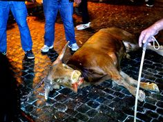 SandRamirez contra el maltrato animal. • www.luchandoporellos.es: CONTRA LAS TERRIBLES BECERRADAS DE ALGEMESI.