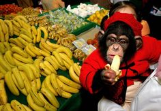 Wanxing, a one-year-old chimpanzee, eats a banana at a supermarket in China's Anhui province
